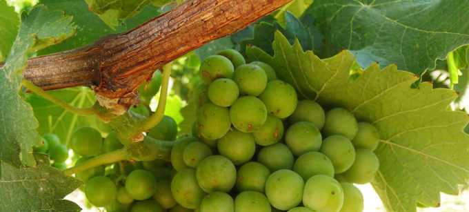 White winegrape cluster on the vine