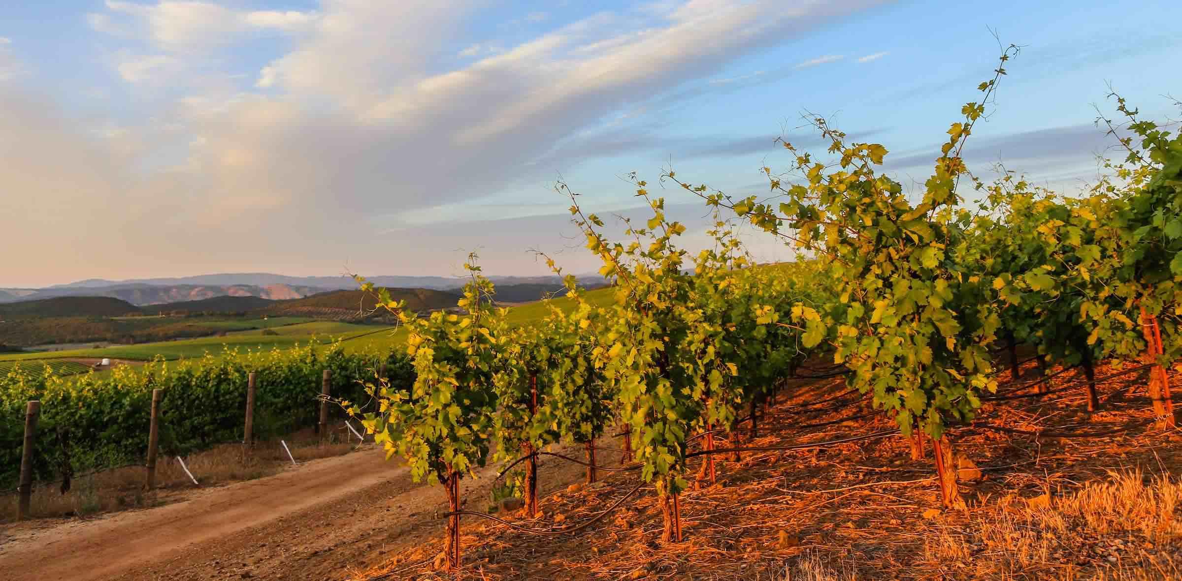 Beckstoffer Vineyards, Red Hills AVA, Lake County (c) Nathan DeHart)