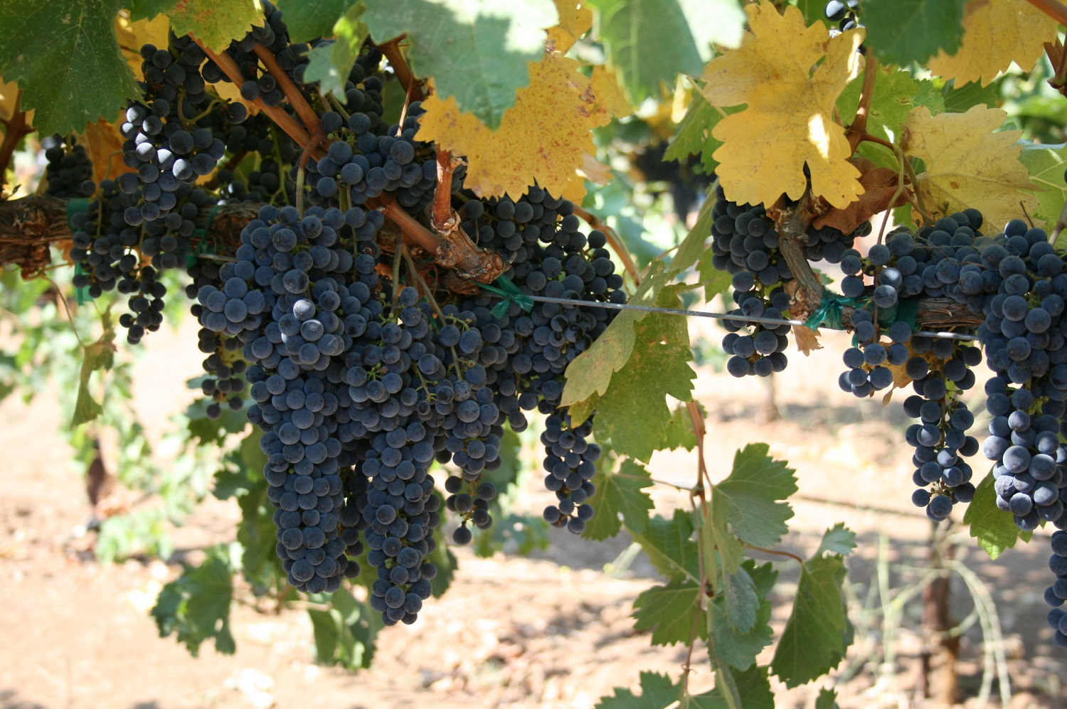 Red wine grape clusters on the vine