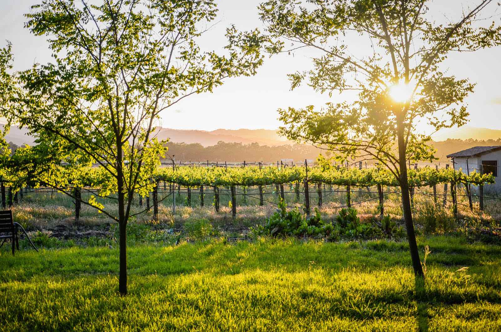 Trees, vineyard, and bright sun (c) Nathan DeHart